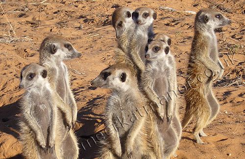 Meerkats in a community